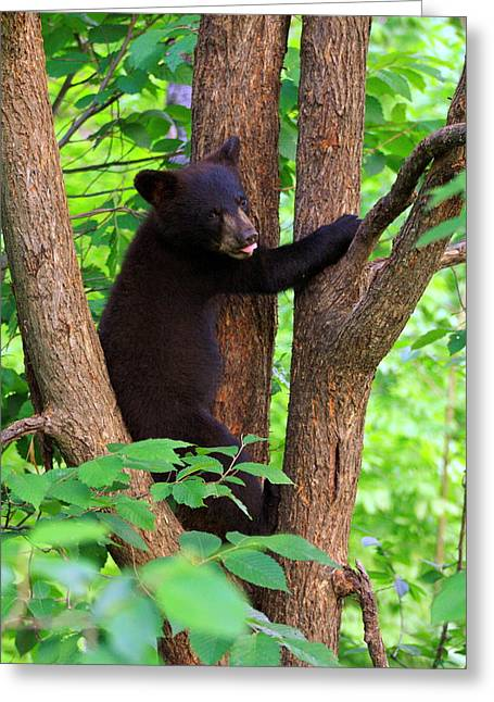 Black Bear Climbing Tree Greeting Cards - For the love of bears Greeting Card by Deshagen Photography