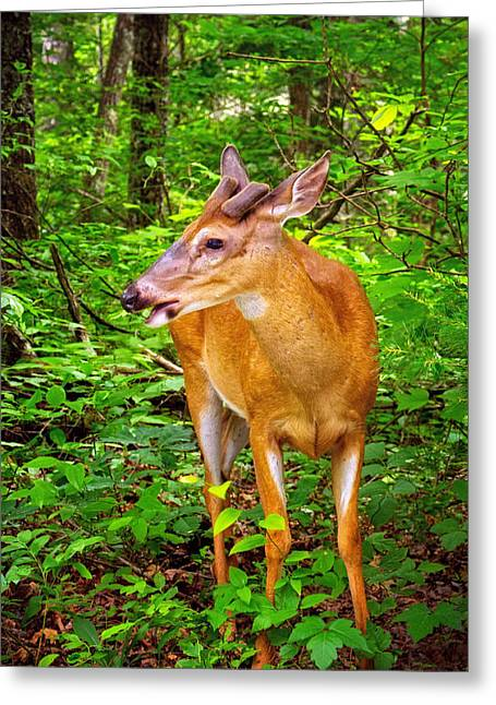 Roaring Fork Road Greeting Cards - Foraging Deer Greeting Card by Carolyn Derstine