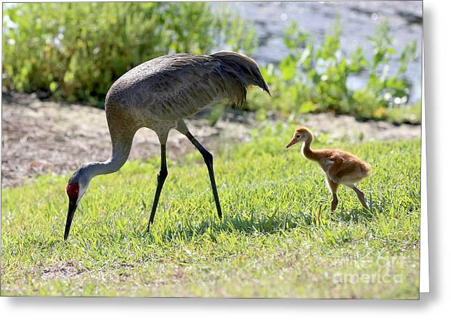 Sandhill Cranes Greeting Cards - Foraging Lesson Greeting Card by Carol Groenen