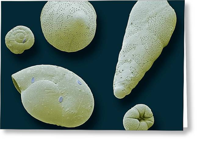 Foraminifera Greeting Card by Steve Gschmeissner