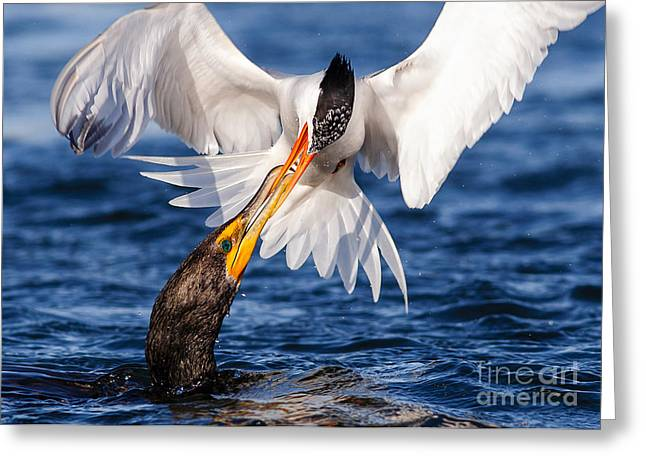Tern Greeting Cards - Forbidden Kiss Greeting Card by Carl Jackson