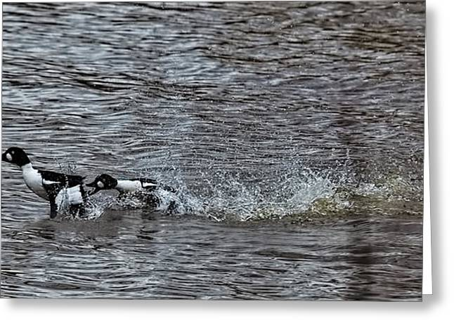 Water Fowl Greeting Cards - Fore love  two male goldeneye ducks fighting for a female in creek of  Enkoping  Greeting Card by Leif Sohlman