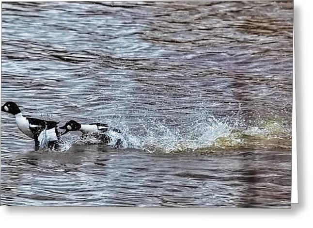 Water Fowl Greeting Cards - Fore The Love Two Male Goldeneye Ducks Fighting For A Female In Creek Of Enkoping Greeting Card by Leif Sohlman