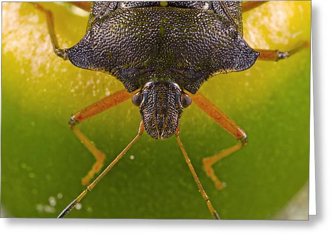 Acorn Greeting Cards - Forest bug on an acorn Greeting Card by Science Photo Library