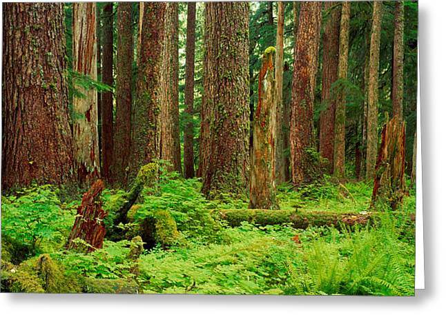 Olympic National Park Greeting Cards - Forest Floor Olympic National Park Wa Greeting Card by Panoramic Images