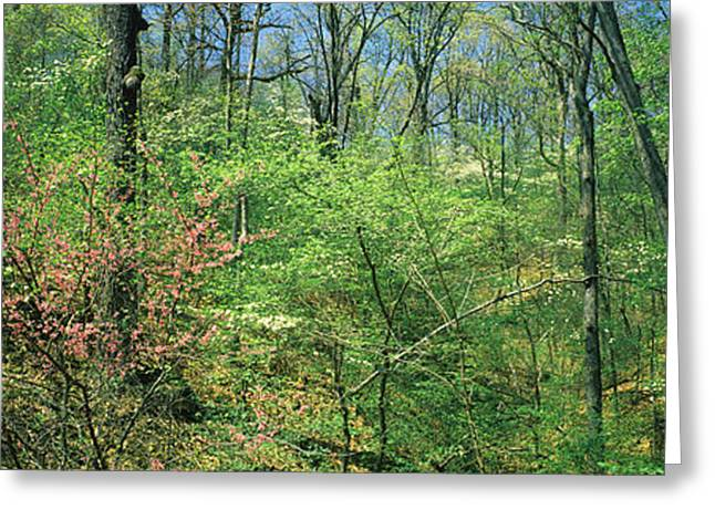 Tears Greeting Cards - Forest, Trail Of Tears, Shawnee Greeting Card by Panoramic Images