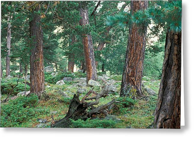 Undergrowth Greeting Cards - Forest  Greeting Card by Unknown