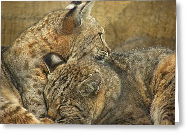 Bobcats Photographs Greeting Cards - Forever Greeting Card by Teresa Schomig