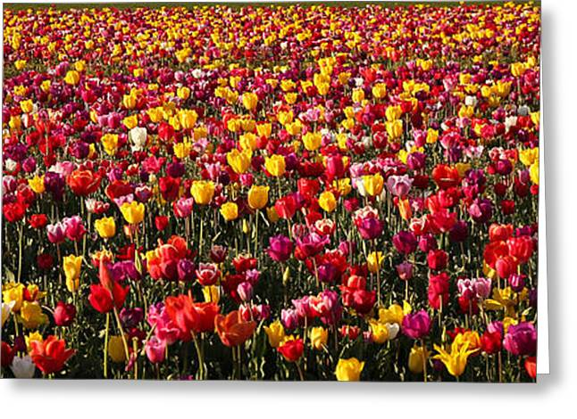 Rose Petals Greeting Cards - Forever Tulips Greeting Card by Athena Mckinzie