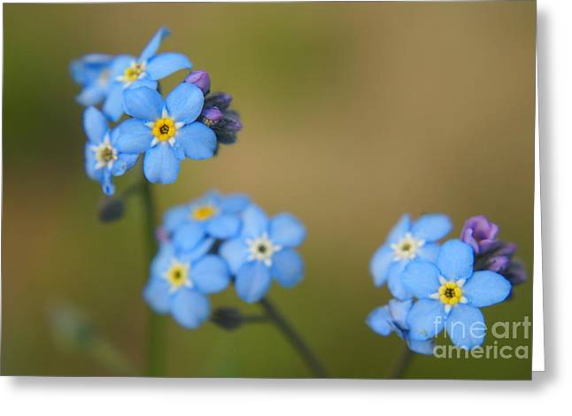 Flora Photography Greeting Cards - Forget Me Not 01 - s01r Greeting Card by Variance Collections