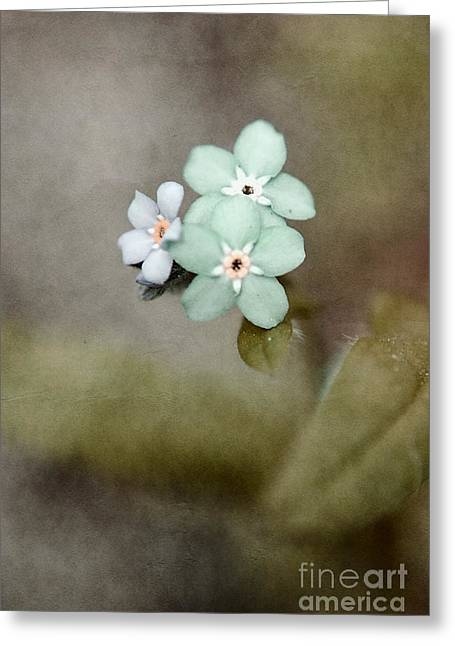 Texture Floral Photographs Greeting Cards - Forget Me Not 03 - s07bt07 Greeting Card by Variance Collections
