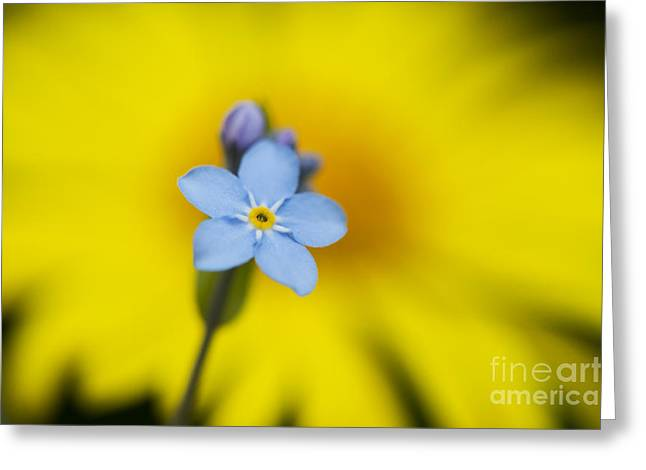 """forget Me Not"" Greeting Cards - Forget Me Not Flower Greeting Card by Tim Gainey"