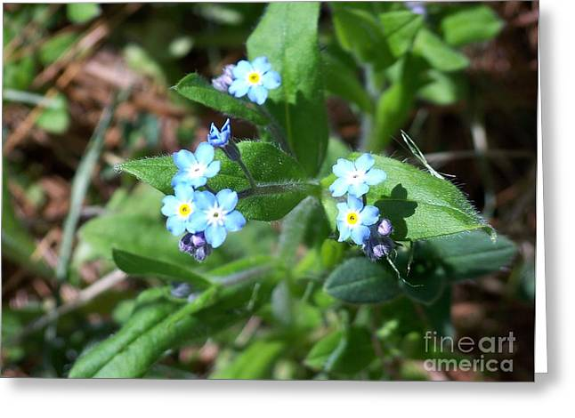 Forgotten Pyrography Greeting Cards - Forget-me-not Greeting Card by Helene Guertin