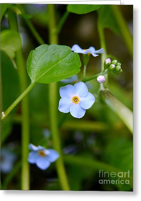 Watercress Greeting Cards - Forget Me Not Greeting Card by John Chatterley