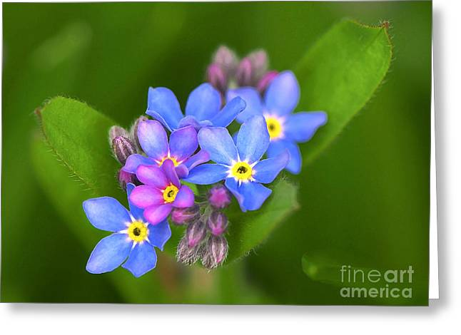 Forgotten Greeting Cards - Forget-me-not Stylized Greeting Card by Sharon  Talson