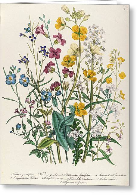 """forget Me Not"" Greeting Cards - Forget-me-nots And Buttercups, Plate 13 From The Ladies Flower Garden, Published 1842 Colour Litho Greeting Card by Jane Loudon"