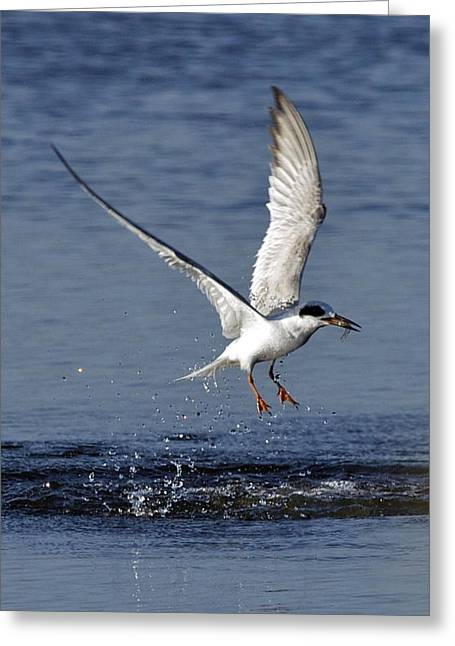 Tern Greeting Cards - Forsters Tern Greeting Card by Gerard Monteux