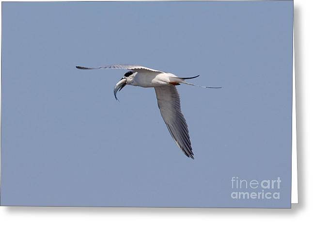 Forsters Tern In Flight With Fish Prey Greeting Card by Anthony Mercieca