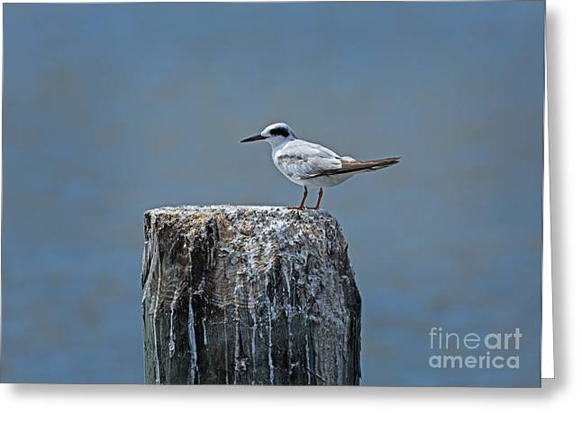 Forster's Tern Greeting Card by Louise Heusinkveld
