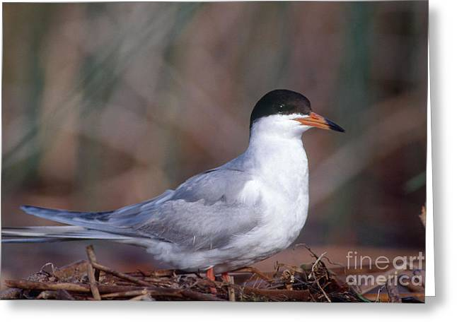Forsters Tern On Nest Greeting Card by William H. Mullins