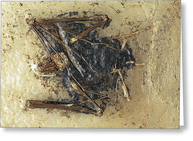 Eutheria Greeting Cards - Fossil bat specimen Greeting Card by Science Photo Library