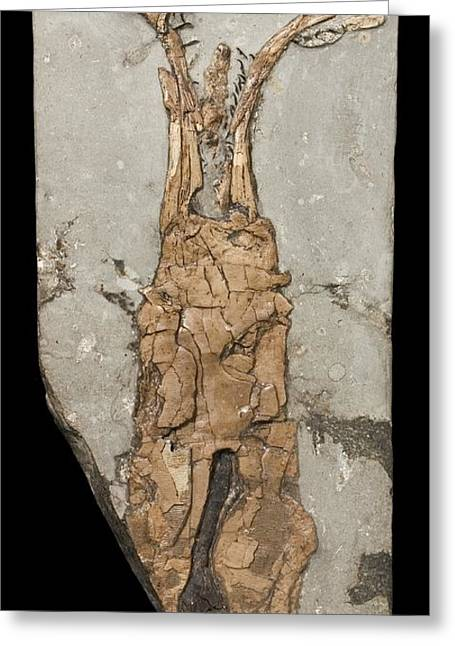 Invertebrates Greeting Cards - Fossil coleoid Greeting Card by Science Photo Library