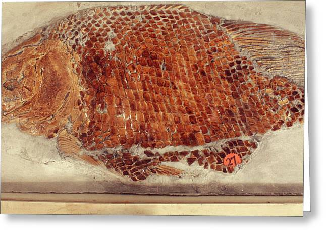 Fossil Fish Cast Greeting Card by Ucl, Grant Museum Of Zoology