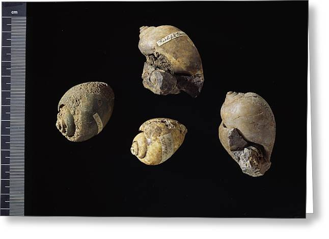 Fossilized Shells Greeting Cards - Fossil freshwater snails Greeting Card by Science Photo Library
