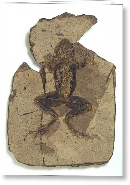 Teruel Greeting Cards - Fossil frog Greeting Card by Science Photo Library