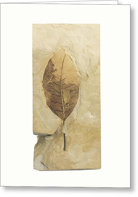 Fossil Leaf Greeting Card by Science Stock Photography