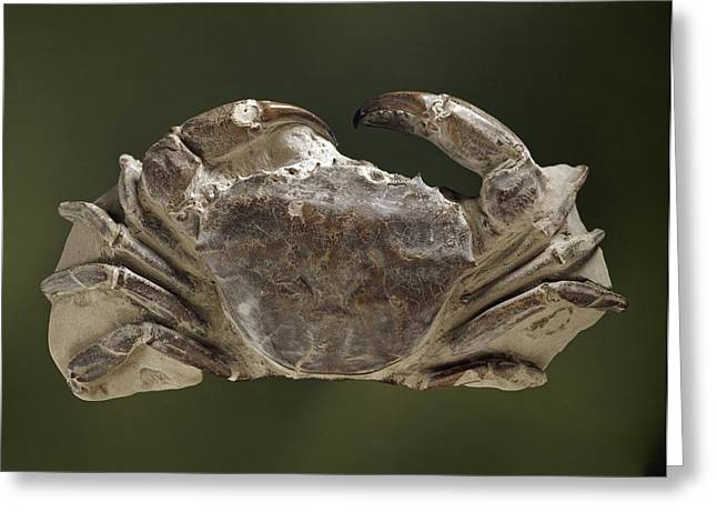 Miocene Greeting Cards - Fossil miocene crab Greeting Card by Science Photo Library