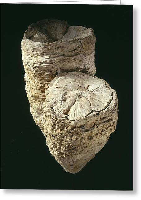 Fossilized Shell Greeting Cards - Fossil mollusc Greeting Card by Science Photo Library