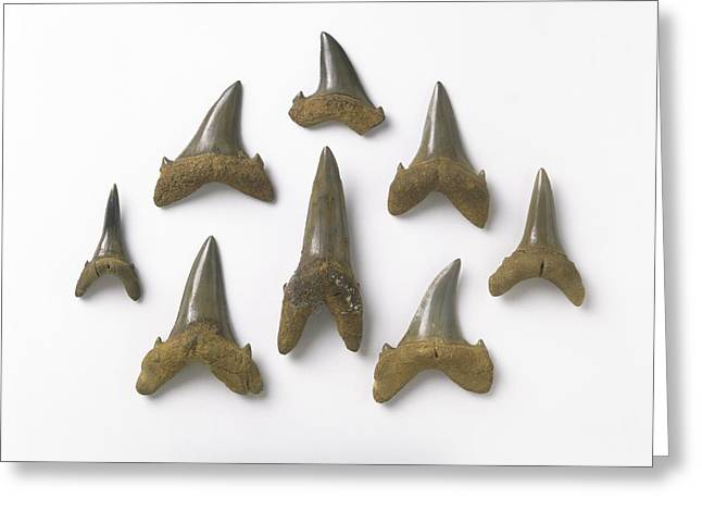 Sharp Teeth Greeting Cards - Fossil sand tiger shark teeth Greeting Card by Science Photo Library