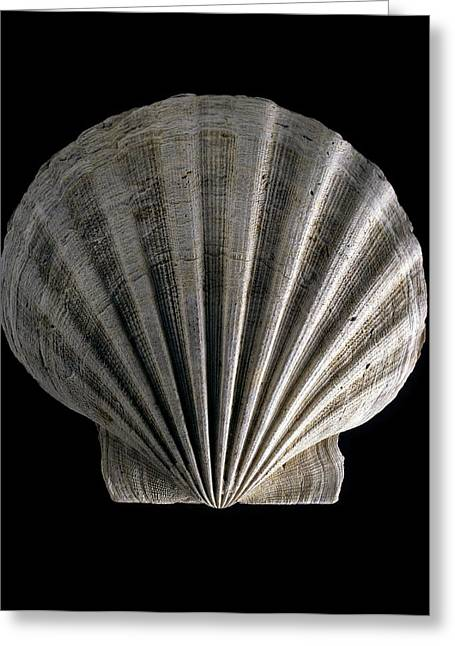 Fossilized Shell Greeting Cards - Fossil scallop shell Greeting Card by Science Photo Library