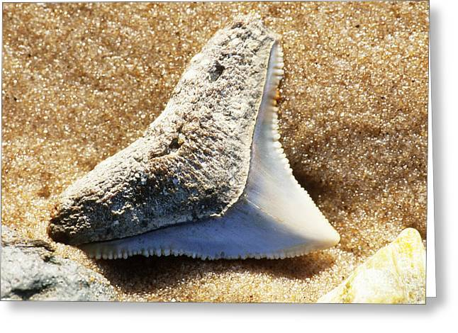 Shark Fossil Greeting Cards - Fossil Shark Tooth Greeting Card by Millard H. Sharp