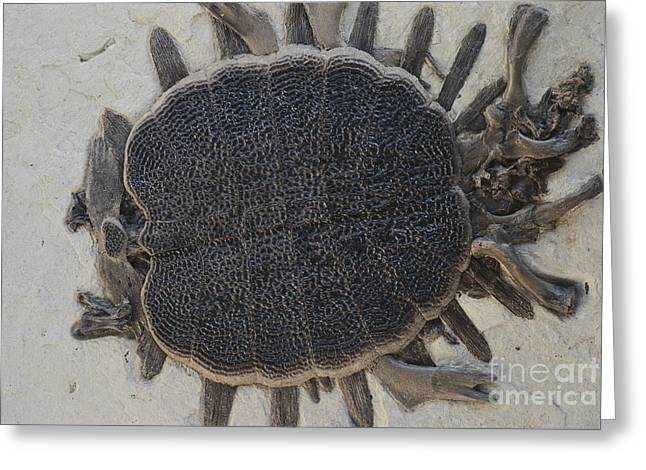 Fossil Greeting Cards - Fossil Soft-shelled Turtle Greeting Card by John Cancalosi/Okapia