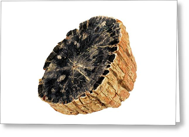Fossil Sycamore Log Section (plantanus) Greeting Card by Science Stock Photography