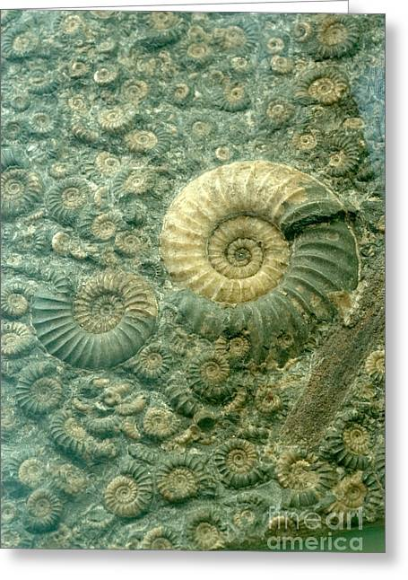 Fossilized Shell Greeting Cards - Fossiliferous Limestone Greeting Card by Scott Camazine