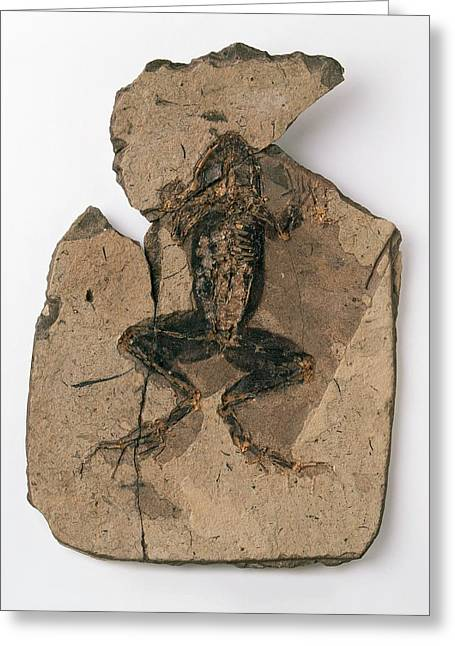 Fossilised Frog In Red Shale Greeting Card by Dorling Kindersley/uig