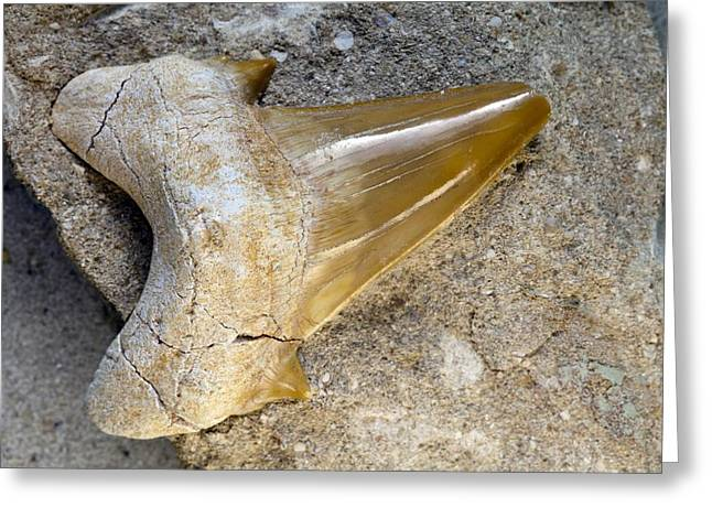 Shark Fossil Greeting Cards - Fossilised shark tooth Greeting Card by Science Photo Library