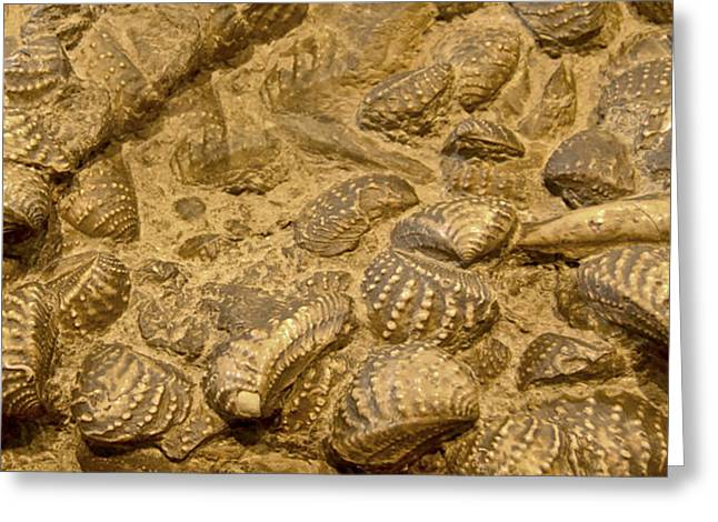 Fossilized Shell Greeting Cards - Fossilized Shells Greeting Card by Gina Dsgn
