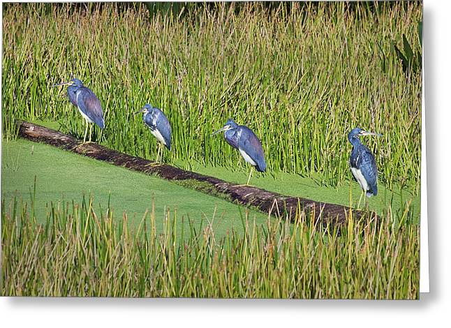 Egretta Tricolor Greeting Cards - Four Amigos Greeting Card by Patrick M Lynch