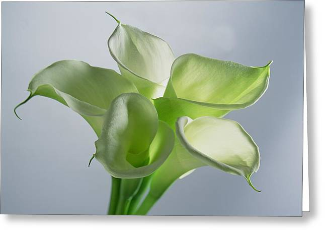 Funnel Greeting Cards - Four Arum Lilies Greeting Card by Norman Hollands
