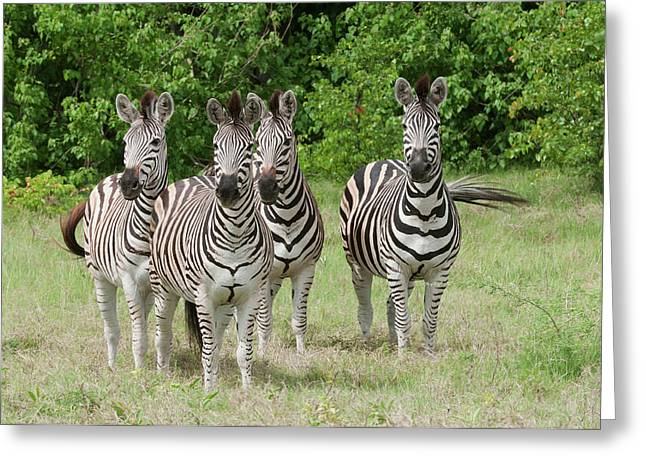 Four Burchell's Zebras On Alert Greeting Card by Jan and Stoney Edwards