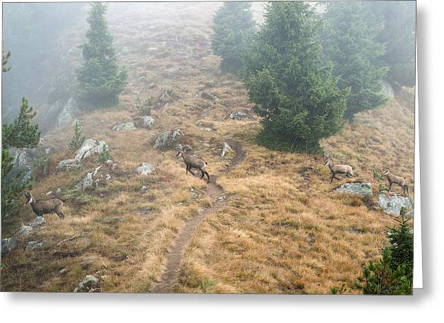 Tiere Greeting Cards - Four chamois crossing a forest path in the Swiss Alps Greeting Card by Matthias Hauser