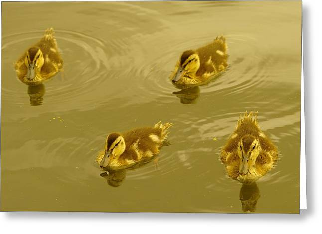 Baby Mallards Greeting Cards - Four Duckies Greeting Card by Jeff  Swan