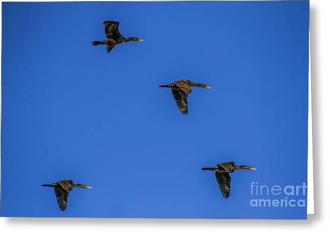 Birding Greeting Cards - Four flying Cormorants Greeting Card by Barbara Bowen
