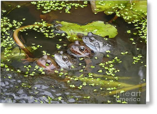 Pleasure Pair Greeting Cards - Four Frogs Springtime Greeting Card by Peter Jordan
