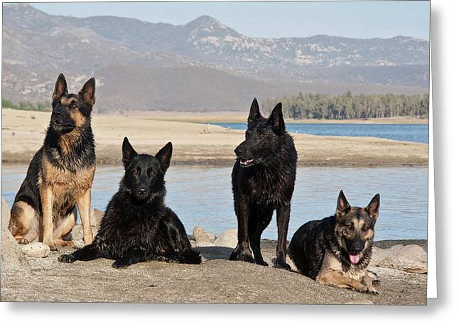 Four German Shepherds Together Greeting Card by Zandria Muench Beraldo