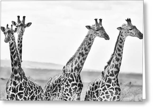 Black And White Hdr Greeting Cards - Four Giraffes Greeting Card by Adam Romanowicz